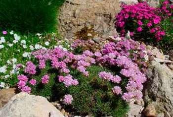 Обаятельная малышка Армерия: средиземноморский колорит в Вашем саду
