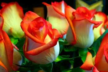 Все о розах от легенды до символического языка цветов