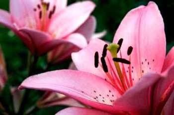 Лилии - нарядные красавицы