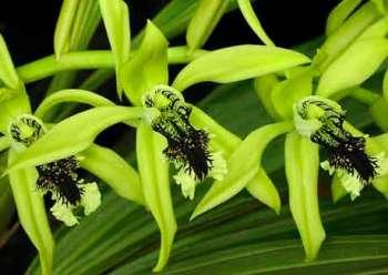 Душистая орхидея Целогина