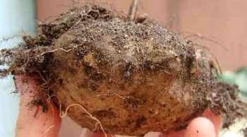 Размножение клубнями, луковицами, клубнелуковицами и клубнепочками