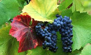 Выращивание винограда на даче