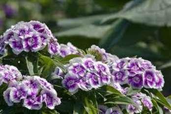 Выращивание_садовой_гвоздики