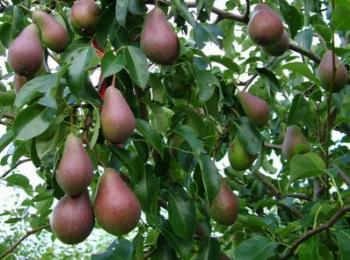 Как выращивать грушу