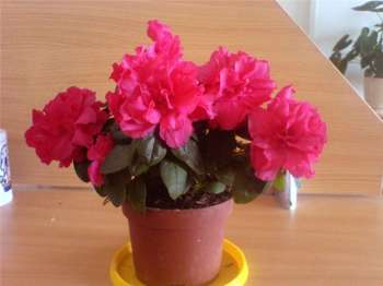 АЗАЛИЯ - комнатное растение