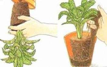 Пересадка комнатных растений весной