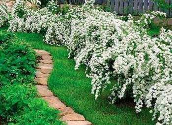 Живая изгородь – выбор растений, посадка и обрезка