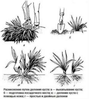Как сажать и размножать лилейник