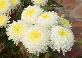 Как вырастить хризантемы и способы их размножения