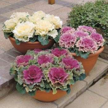Как вырастить декоративную капусту - брассика