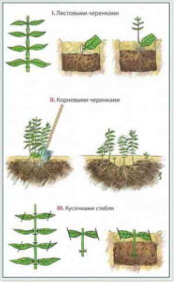 Выращивание флоксов на участке