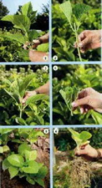 Выращивание и размножение гортензии