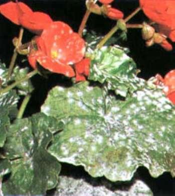 Выращивание клубневой бегонии