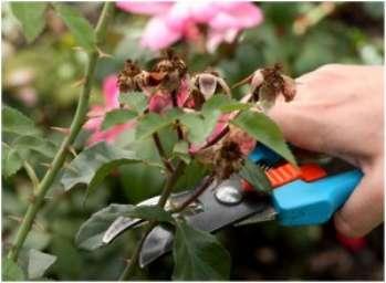 Летняя обрезка роз и декоративных кустарников