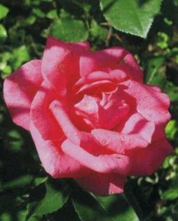 Составление композиций из цветов роз в саду