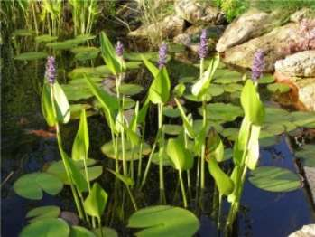 Названия растений для искуственного водоема