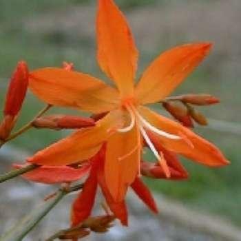 Немного экзотики в русском саду. Японский гладиолус