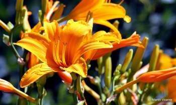 Лилейники: нетребовательная красота