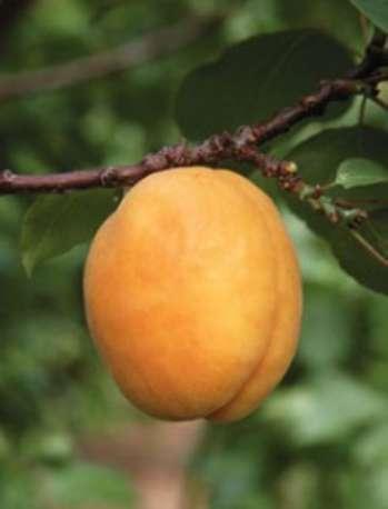 Характеристика деревьев абрикоса по восприимчивости к регуляторам роста