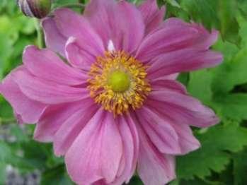 Анемона осенняя (ветреница хубейская) - растение, цветущее осенью