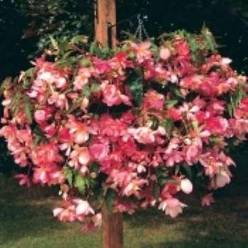 Клубневая бегония – фейерверк в саду