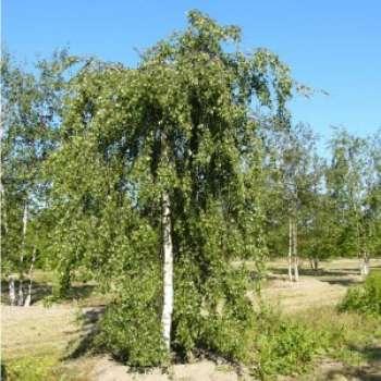 Береза повислая – описание древесного растения, которое предпочтительно высаживать весной