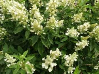 Буддлея Давида - древесное растение, которое предпочтительно высаживать весной