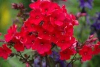 Флокс метельчатый – растение, цветущее летом