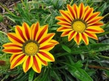 Цветок гацания – изюминка цветника