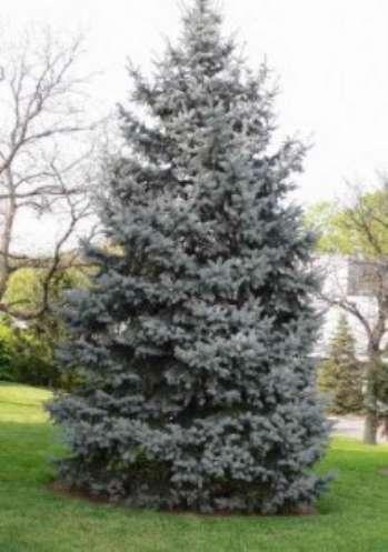 Какие хвойные деревья выбрать для оформления сада