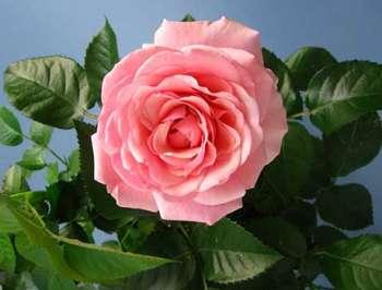 Комнатные розы: уход и выращивание