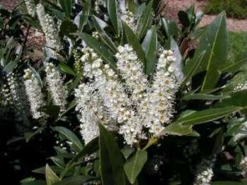 Лавровишня лекарственная - древесное растение, которое предпочтительно высаживать весной
