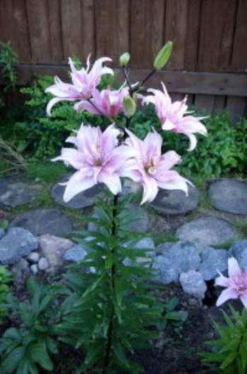 Особенности посадки лилии Азиатские гибриды