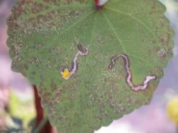 Как защитить растение от листового минера