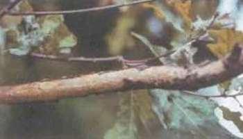 Нуммуляриевый некроз дуба и виллеминиевый некроз дуба