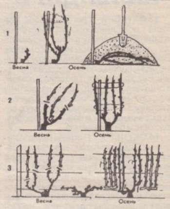 Обрезка винограда для начинающих садоводов