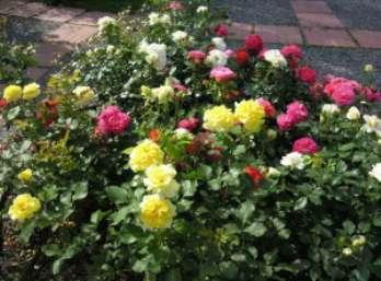 Планировка клумбы для роз. Создание клумбы