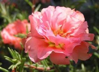 Использование портулака в цветоводстве