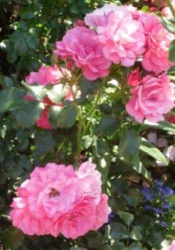 Описание сортов роз для оформления дачного участка - любимые и проверенные