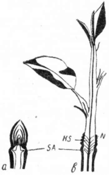 Влияние роста побегов и определение длины веток для плодоношения