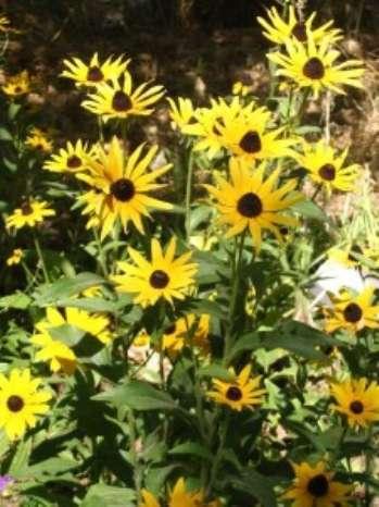 Рудбекия сверкающая – растение, цветущее летом