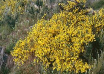 Саротамнус - древесное растение, которое лучше высаживать весной