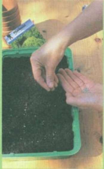 Выращивать семена в домашних условиях не так уж и сложно