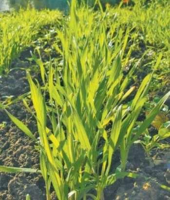 Влияние растений-сидератов на почву