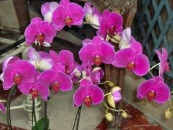 Орхидеи_уход_и_выращивание