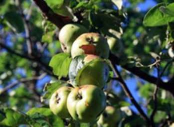 Борьба с вредителями плодовых деревьев