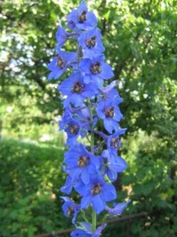 Живокость высокая – растение, цветущее летом