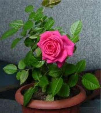 Как_пересадить_мини-розу