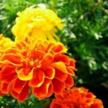 Нарядные цветы - бархатцы
