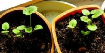Выращивание_из_семян_комнатных_растений